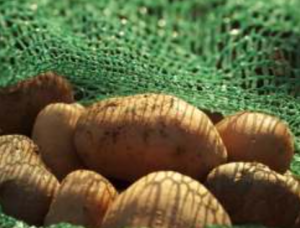 Potatoes for planting
